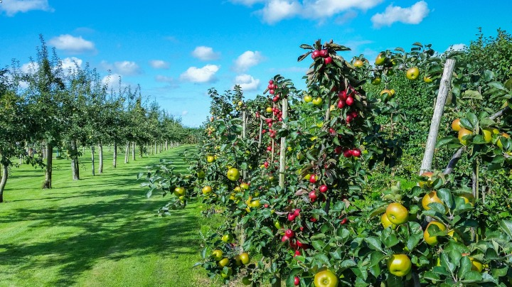 Apple Orchard - Bees love apple trees