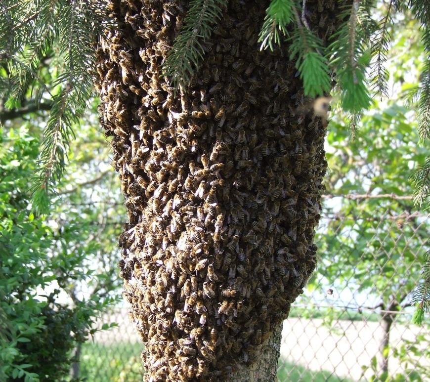 Bees swarming in a tree