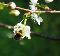 bumblebee-71013_1280