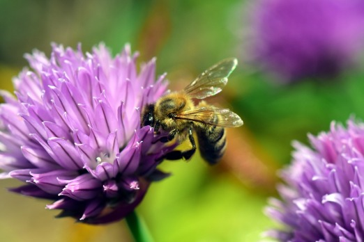 Bee on Chive plant