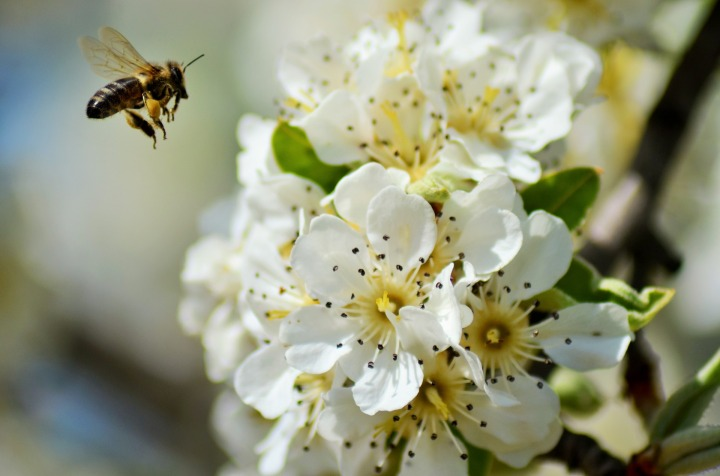Pixabay image of bee collecting pollen from a tree